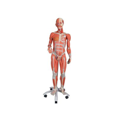 3_4 Life-Size Dual Sex Human Muscle Model on Metal Stand, 45-part - 3B Smart Anatomy