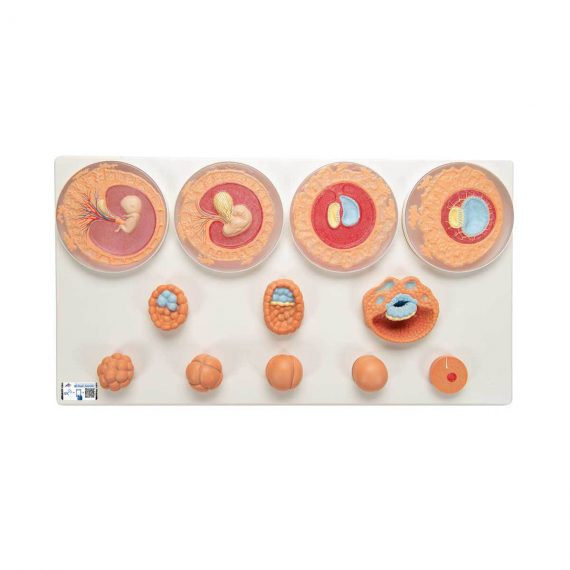 Embryonic Development Model in 12 Stages - 3B Smart Anatomy