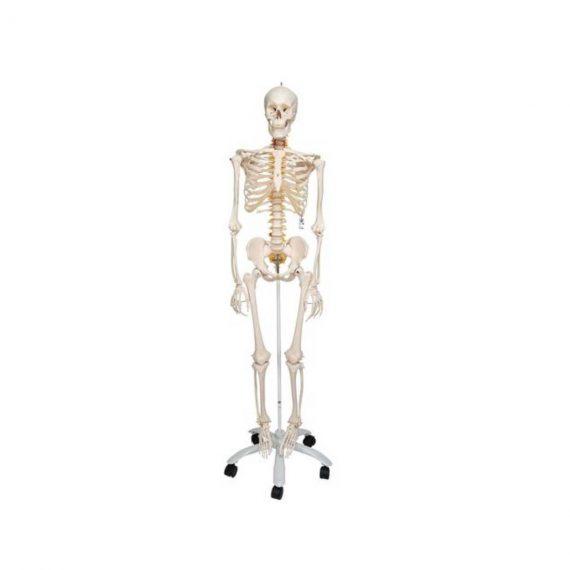 Flexible Human Skeleton Model Fred - 3B Smart Anatomy