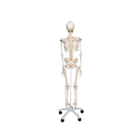 Flexible Human Skeleton Model Fred - 3B Smart Anatomy..