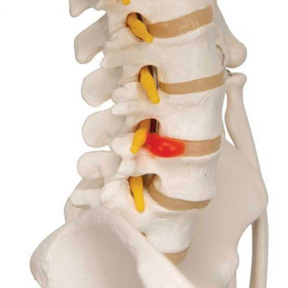 Flexible Human Skeleton Model Fred - 3B Smart Anatomy......