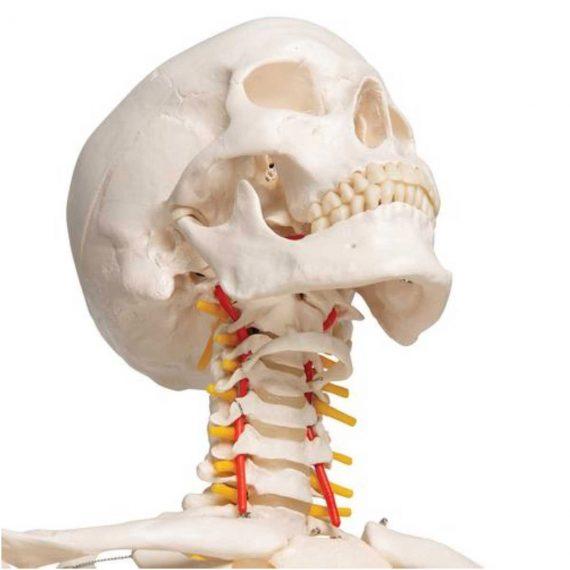 Flexible Human Skeleton Model Fred - 3B Smart Anatomy........