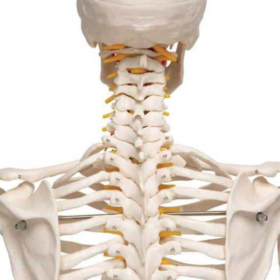 Flexible Human Skeleton Model Fred - 3B Smart Anatomy..........