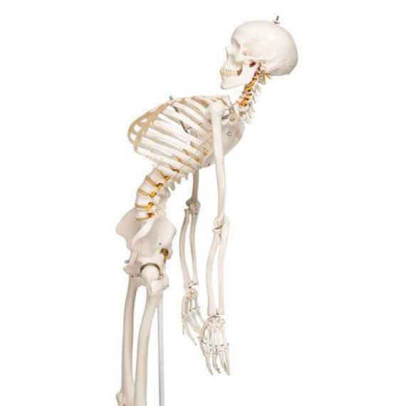 Flexible Human Skeleton Model Fred - 3B Smart Anatomy............