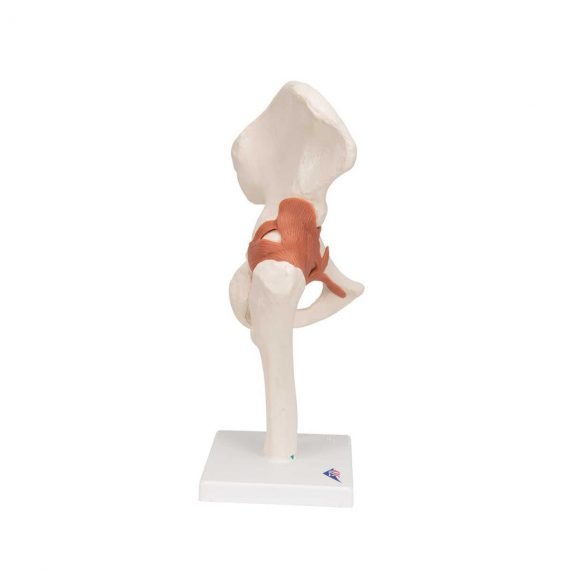 Functional Human Hip Joint Model - 3B Smart Anatomy..