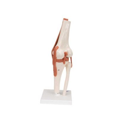 Functional Human Knee Joint Model with Ligaments - 3B Smart Anatomy....