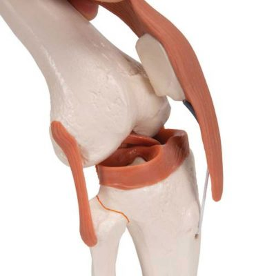 Functional Human Knee Joint Model with Ligaments - 3B Smart Anatomy......