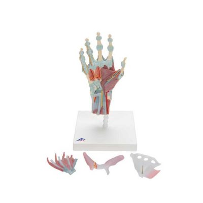 Hand Skeleton Model with Ligaments & Muscles - 3B Smart Anatomy....