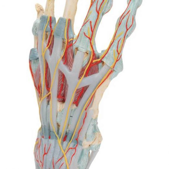 Hand Skeleton Model with Ligaments & Muscles - 3B Smart Anatomy......