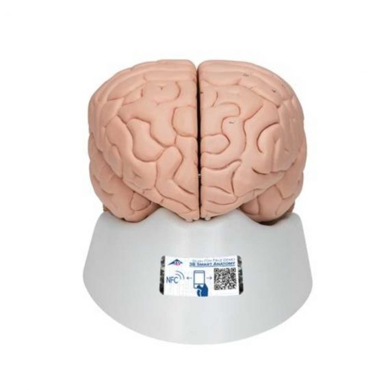 Human Brain Model, 8 part - 3B Smart Anatomy