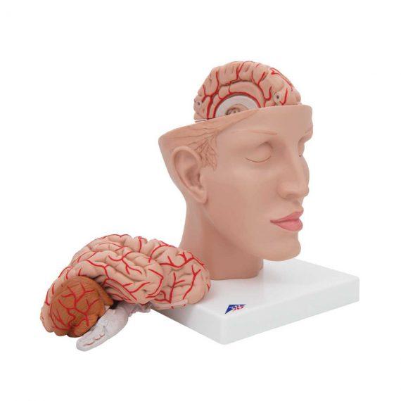 Human Brain Model with Arteries on Base of Head, 8 part - 3B Smart Anatomy..