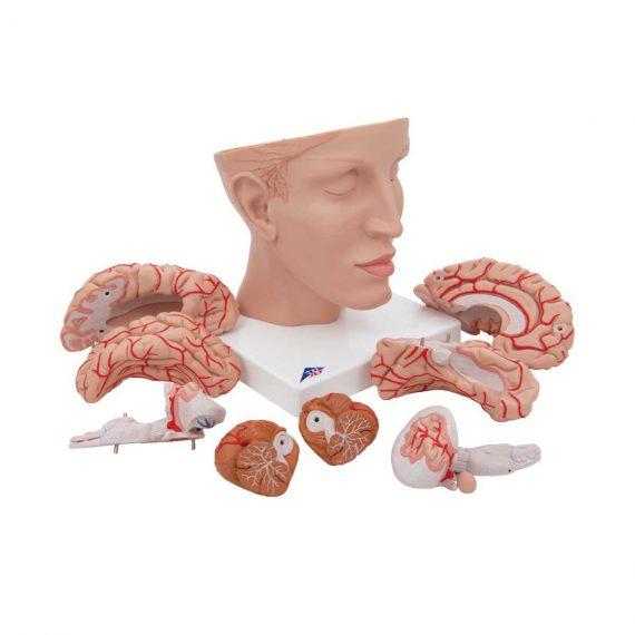 Human Brain Model with Arteries on Base of Head, 8 part - 3B Smart Anatomy......