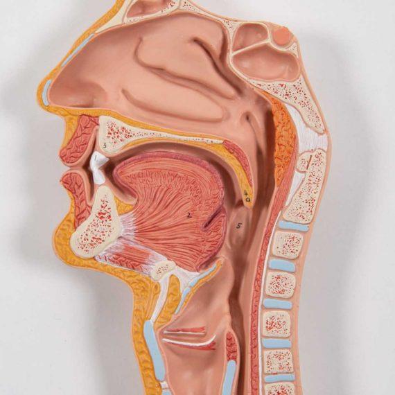 Human Digestive System Model, 3 part - 3B Smart Anatomy..