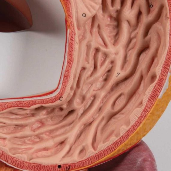 Human Digestive System Model, 3 part - 3B Smart Anatomy....