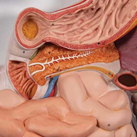 Human Digestive System Model, 3 part - 3B Smart Anatomy......