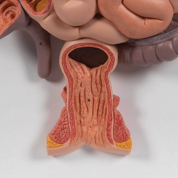 Human Digestive System Model, 3 part - 3B Smart Anatomy........