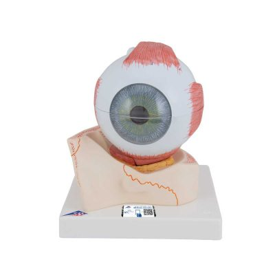 Human Eye Model, 5 times Full-Size, 7 part - 3B Smart Anatomy