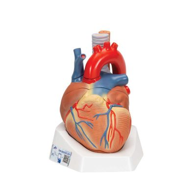 Human Heart Model, 7 part - 3B Smart Anatomy