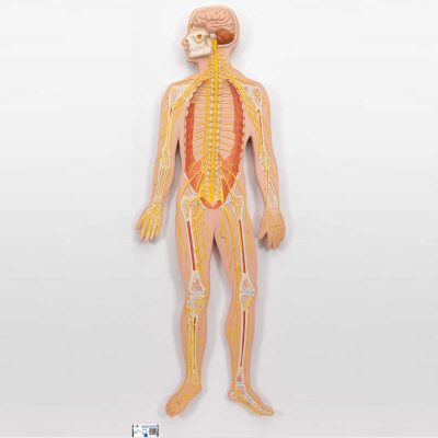 Human Nervous System Model, 1-2 Life-Size - 3B Smart Anatomy