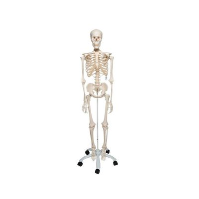 Human Skeleton Model Stan - 3B Smart Anatomy