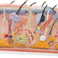 Human Skin Section Model, 70 times Full-Size - 3B Smart Anatomy......