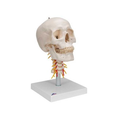 Human Skull Model on Cervical Spine, 4 part - 3B Smart Anatomy