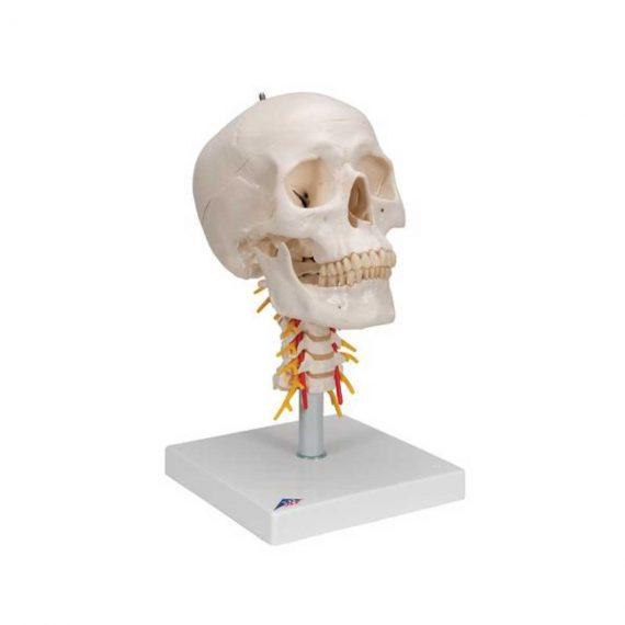 Human Skull Model on Cervical Spine, 4 part - 3B Smart Anatomy