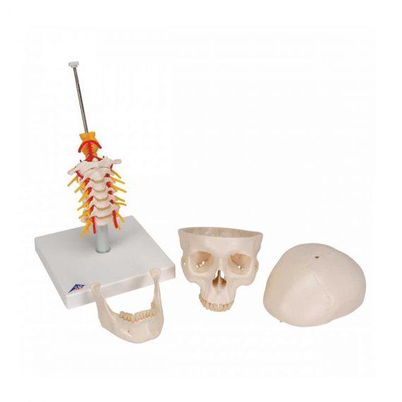 Human Skull Model on Cervical Spine, 4 part - 3B Smart Anatomy..