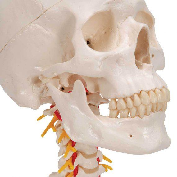 Human Skull Model on Cervical Spine, 4 part - 3B Smart Anatomy....