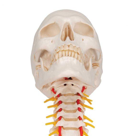 Human Skull Model on Cervical Spine, 4 part - 3B Smart Anatomy......