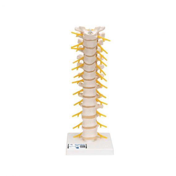 Thoracic Human Spinal Column Model - 3B Smart Anatomy