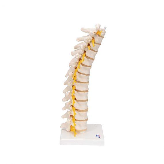Thoracic Human Spinal Column Model - 3B Smart Anatomy..