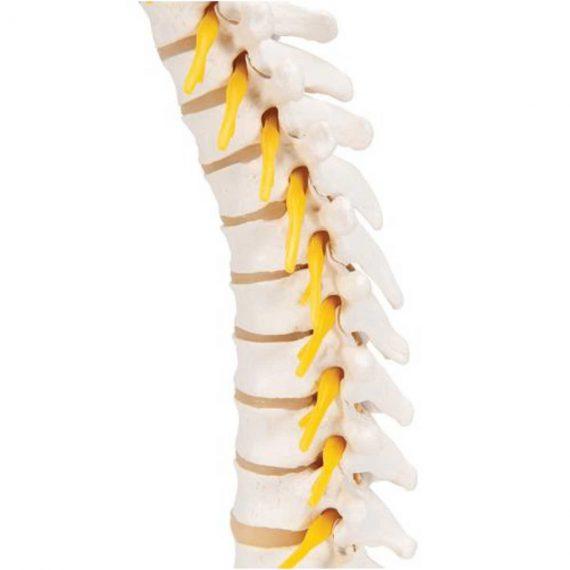 Thoracic Human Spinal Column Model - 3B Smart Anatomy......